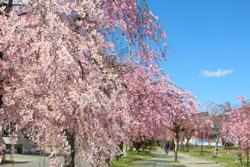 桜咲き乱れる三春の滝桜など