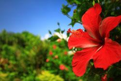 南国の沖縄にあるハイビスカス