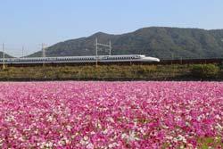 東海道新幹線とコスモス畑