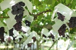 甲府で育つ瑞々しい葡萄